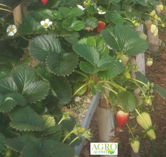 Fresa orgánica, con Agroactivo