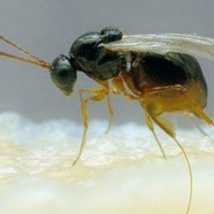 Parasitoide Pachycrepoideus vindemiae