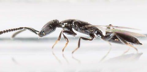 Spalangia control de moscas