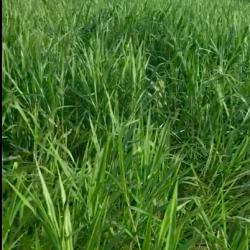 Brachiaria ruziziensis con 60 días de establecida