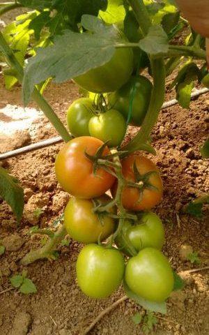 Semilla de Tomate roble híbrida