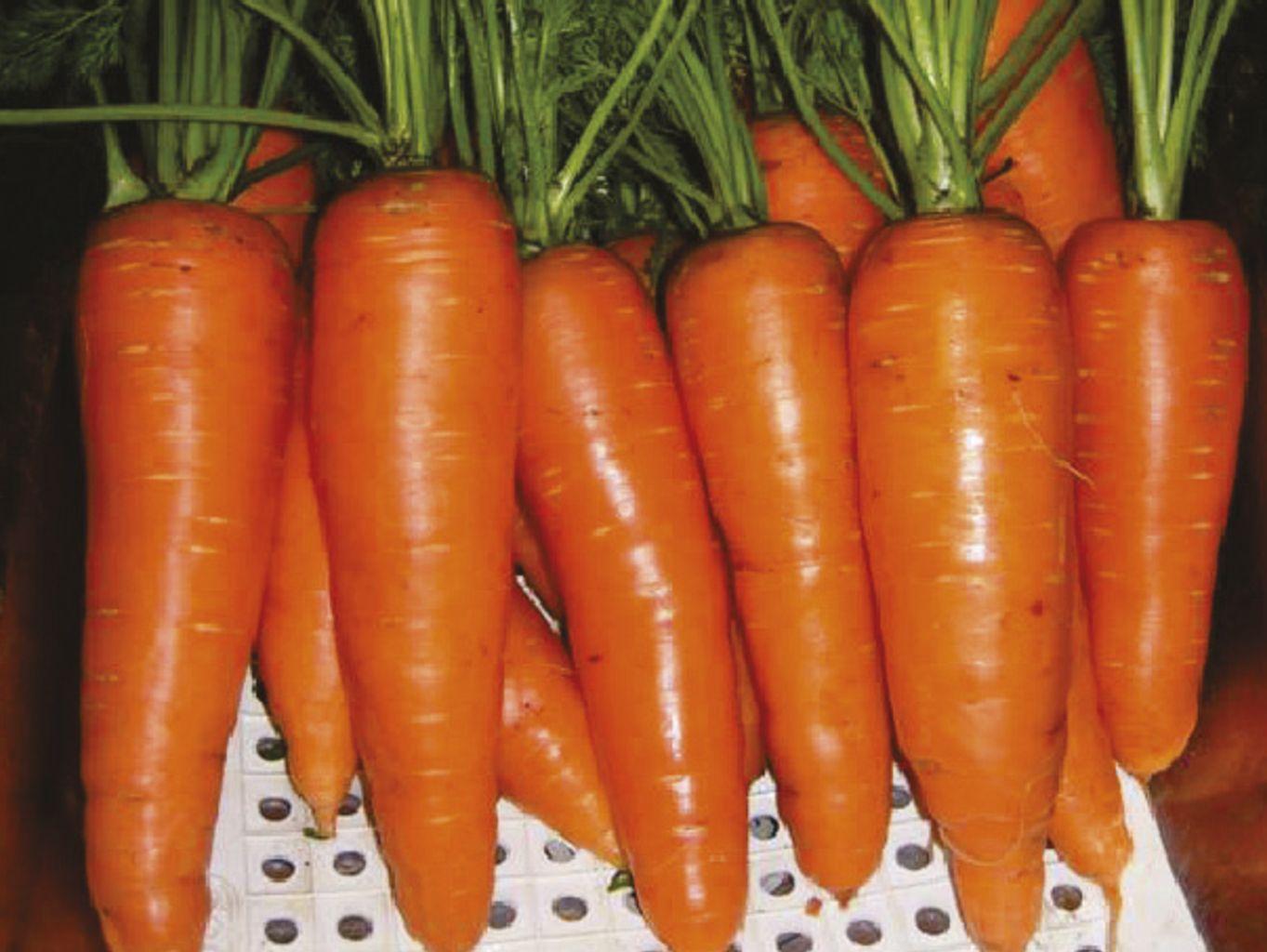Zanahoria Miraflores F1 Agroactivo Conoce los increíbles beneficios de la zanahoria, sus propiedades saludables, contraindicaciones y más ¡sal de dudas rápidamente! zanahoria miraflores f1 agroactivo