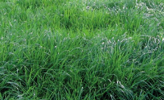 AMAZON RYE GRASS PERENNE