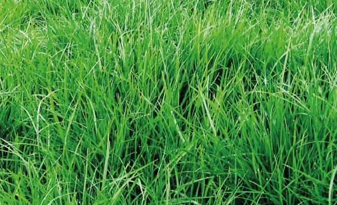 PASTORAL RYE GRASS PERENNE